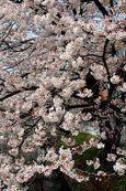 20130328二ケ領本川サクラ02