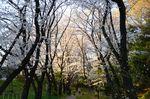 20130328白山桜トンネル01