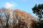 20130328白山むじなが池山桜01