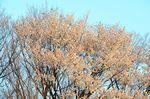 20130328白山むじなが池山桜03