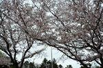 20130330白山神社定点観察枝02