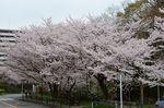 20130330白山神社桜トンネル01