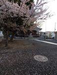 20130401新城神社サクラ04