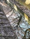20130401麻生川のサクラ04