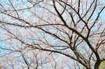 20130401白山神社桜トンネル02