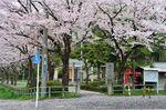 20130331桜絨毯01