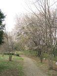 20130401黒川の山桜03