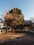 20130404新城神社サクラ02