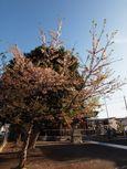 20130404新城神社サクラ01