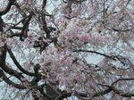 20130406香林寺本堂シダレザクラ02