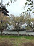 20130406香林寺コヒガンザクラ02
