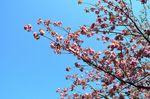 20130411白山神社八重桜赤04