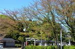 20130411白山神社定点観測枝04