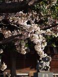 20130321新城神社サクラ01