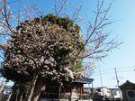 20130321新城神社サクラ04