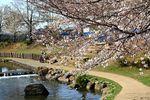 20130321二ケ領本川サクラ05