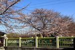 20130321二ケ領本川サクラ07
