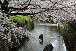 20130324二ケ領本川サクラ01