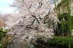 20130324二ケ領本川サクラ03