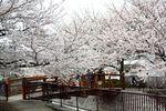 20130324二ケ領橋本・台和橋サクラ05