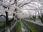 20130325麻生川のサクラ03