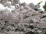 20130326稲毛神社サクラ02