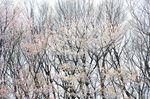 20130326白山むじなが池山桜03