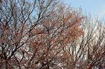 20130328白山むじなが池山桜08