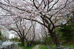 20130330白山神社桜トンネル03