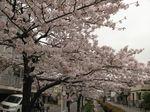 20130330江川せせらぎ遊歩道01