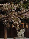 20130331新城神社サクラ03