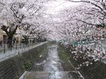 20130331麻生川橋付近01
