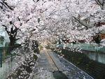 20130401麻生川のサクラ01