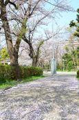 20130401白山神社桜絨毯01