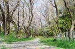 20130401白山神社桜トンネル01