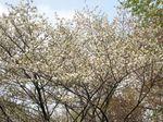 20130401黒川の山桜04