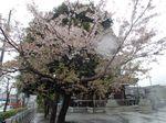20130402新城神社サクラ01