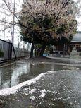 20130402新城神社サクラ02