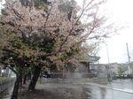 20130403新城神社サクラ03