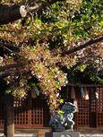 20130404新城神社サクラ03