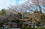 20130404白山神社定点観測枝04