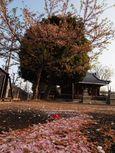 20130405新城神社サクラ06