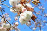 20130411白山神社八重桜白02