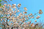20130411白山神社八重桜白03