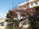 20140201nakaharadesyaku_sakura03