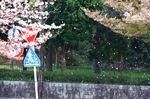 20140409hakuasanjinjya_hanafubuki01