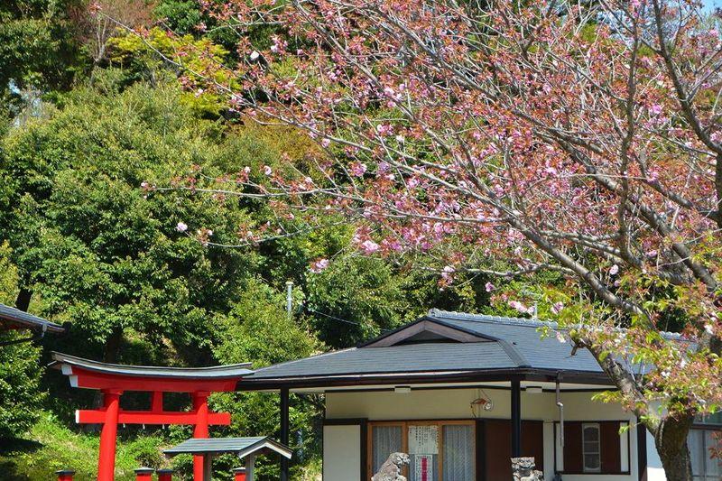 20140415hakusanjinjya_yaeaka02