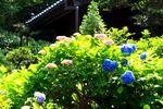 20140610myorakuji_ajisai02