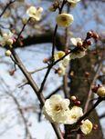 20140125todorokiryokuchi_ume03
