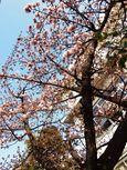 20140201nakaharadesyaku_sakura02